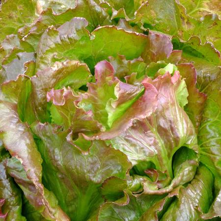 Laitue 'Magenta' (Lactuca sativa) | Jardin des vie-la-joie | Artisan semencier