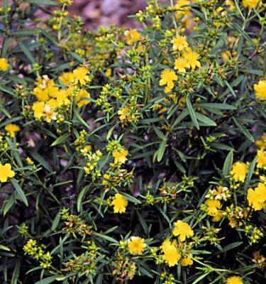 Millepertuis arbustif (Hypericum)   Jardin des vie-la-joie   Artisan semencier