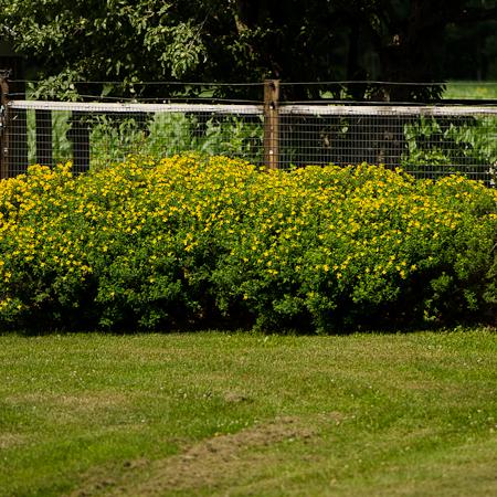 Millepertuis arbustif (Hypericum) | Jardin des vie-la-joie | Artisan semencier