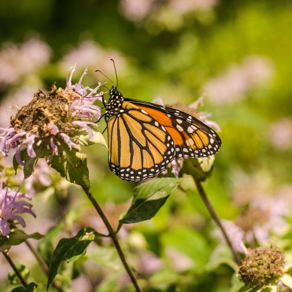 Monarde fistuleuse (Monarda fistulosa) | Jardin des vie-la-joie | Artisan semencier