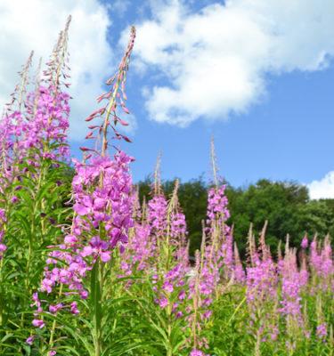 Épilobe à feuilles étroites (Epilobium augustifolium) | Jardin des vie-la-joie | Artisan semencier