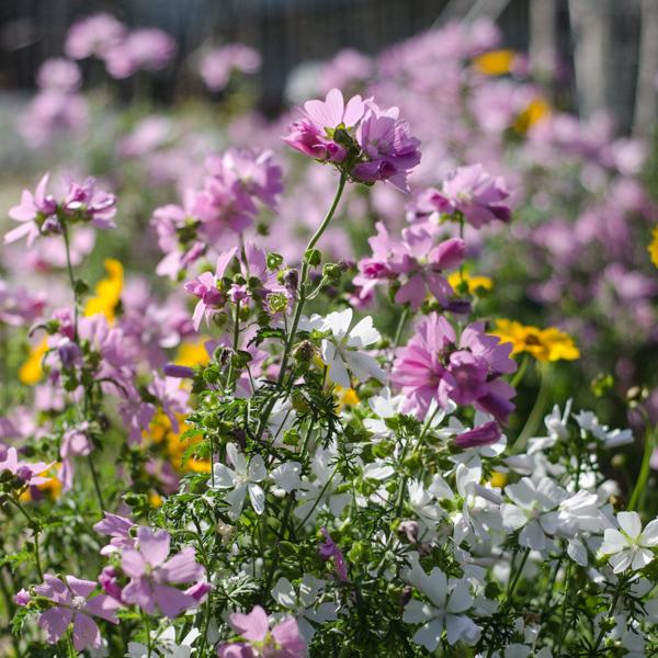 Semences de mauve musquée (Malva moschata) | Jardin des vie-la-joie | Artisan semencier
