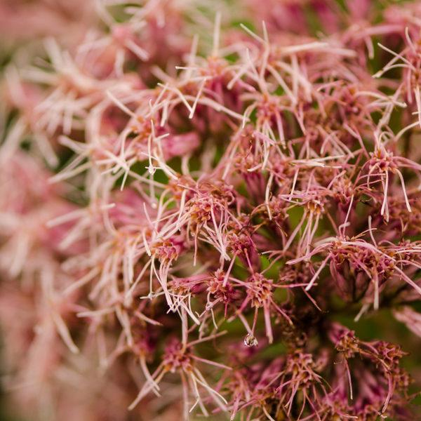 Eupatoire maculée (Eupatorium maculatum) | Jardin des vie-la-joie | Artisan semencier