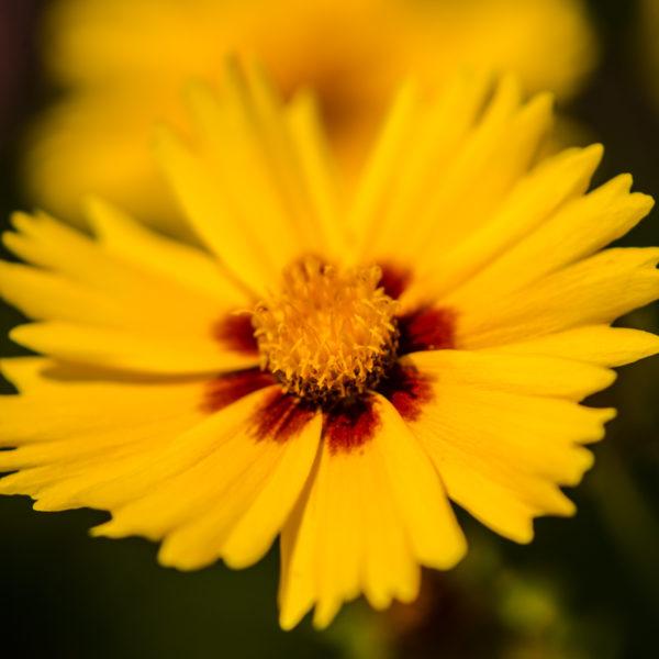 Coreopsis à grandes fleurs (Coreopsis grandiflora SunKIss)| Jardin des vie-la-joie | Artisan semencier