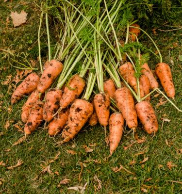 Carotte Royale Chantenay (daucus carota) Jardin des vie-la-joie | Artisan semencier