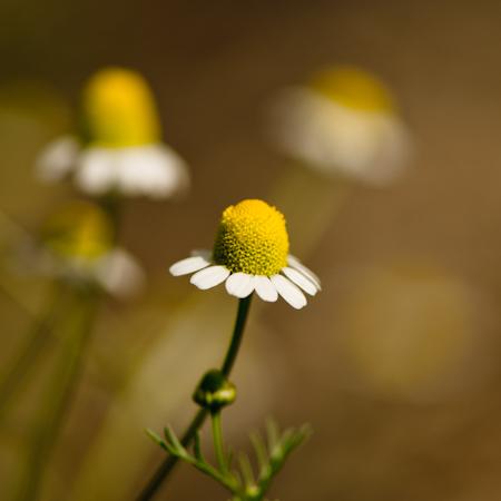 Camomille allemande – Matricaire (Matricaria recutita) | Jardin des vie-la-joie | Artisan semencier