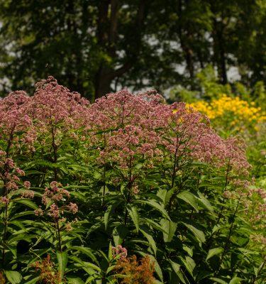 Eupatoire maculée (Eupatorium maculatum)| Jardin des vie-la-joie | Artisan semencier
