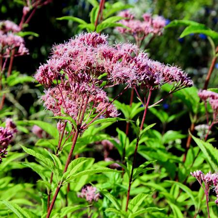 Eupatoire maculée (Eupatorium maculatum)  Jardin des vie-la-joie   Artisan semencier