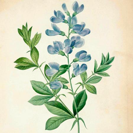 IndigoBleu(Baptisia australis) | Jardin des vie-la-joie | Artisan semencier