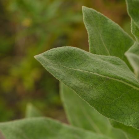 Molène (Verbascum tapus) | Jardin des vie-la-joie | Artisan semencier