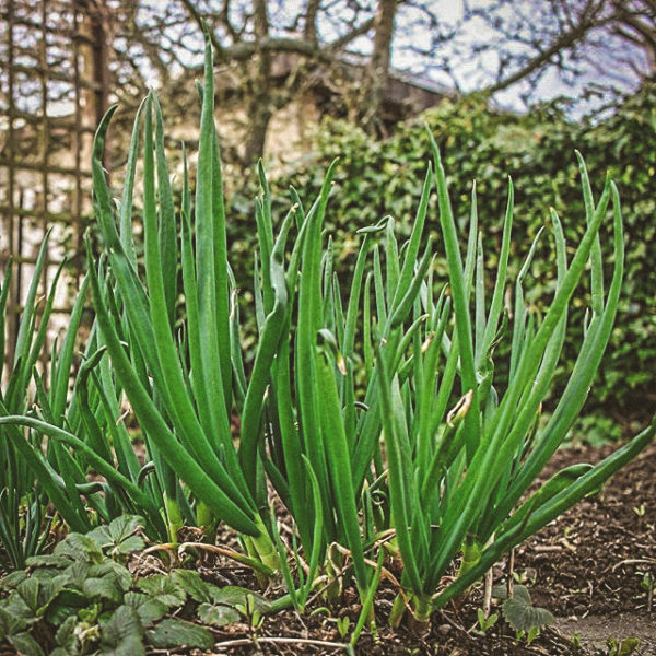 Oignon Catawissa égyptien (Allium x proliferum)| Jardin des vie-la-joie | Artisan semencier
