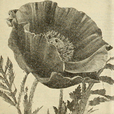 Pavot oriental rose (Papaver somniferum)| Jardin des vie-la-joie | Artisan semencier