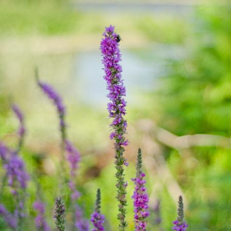 Salicaire pourpre (Lythrum salicaria)| Jardin des vie-la-joie | Artisan semencier
