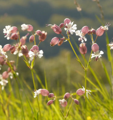 Silene enflée (Silene vulgaris) | Jardin des vie-la-joie | Artisan semencier