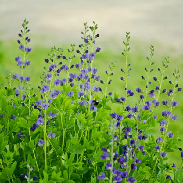 Indigo Bleu(Baptisia australis) | Jardin des vie-la-joie | Artisan semencier
