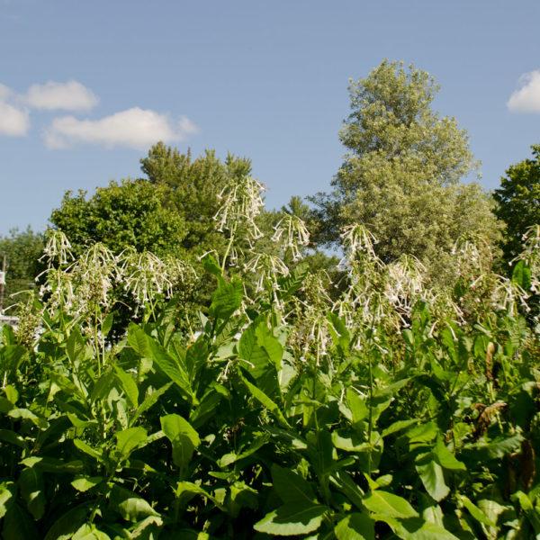 Tabac Géant (Nicotiana sylvestris) | Jardin des vie-la-joie | Artisan semencier