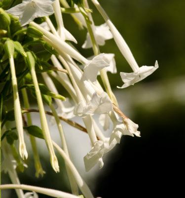 Semences de tabac Géant (Nicotiana sylvestris) | Jardin des vie-la-joie | Artisan semencier