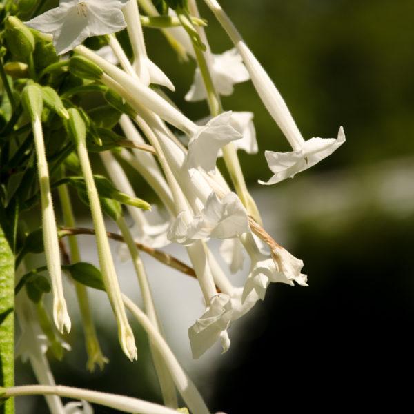Tabac Géant (Nicotiana sylvestris)   Jardin des vie-la-joie   Artisan semencier
