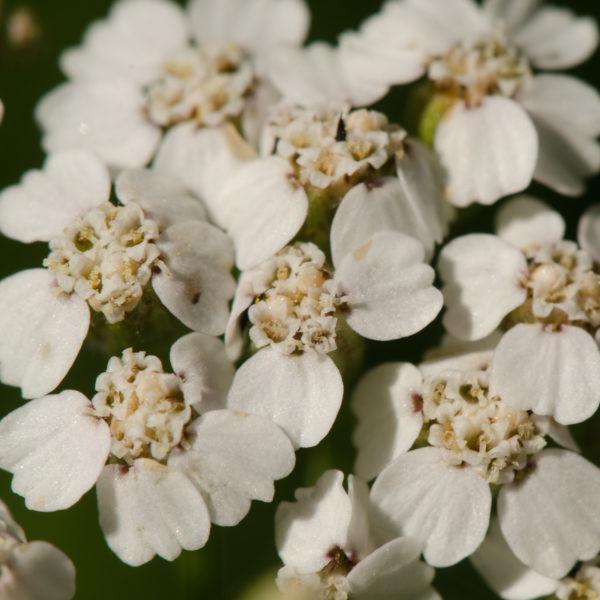 Achillé millefeuille (Achillea millefolium)| Jardin des vie-la-joie | Artisan semencier