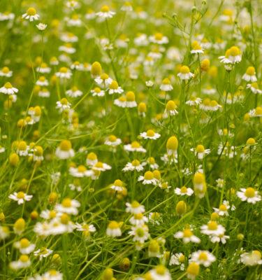 Camomille allemande – Matricaire (Matricaria recutita)   Jardin des vie-la-joie   Artisan semencier