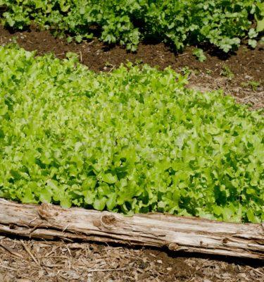 Laitue Feuille de chêne verte (Lactuca sativa) | Jardin des vie-la-joie | Artisan semencier