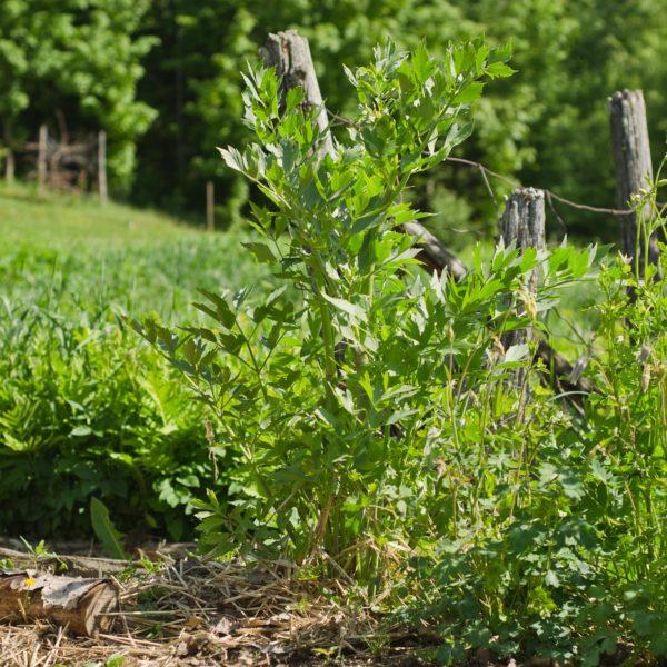 Semences de livèche / céleri perpétuel | Jardin des vie-la-joie | Artisan semencier