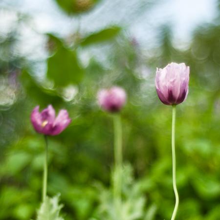 Pavot Hungarian blue (Papaver somniferum var. Nigrum)| Jardin des vie-la-joie | Artisan semencier