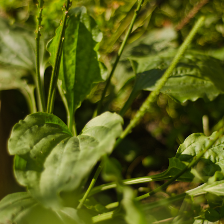 Plantain majeur (Plantago major) | Jardin des vie-la-joie | Artisan semencier du Québec