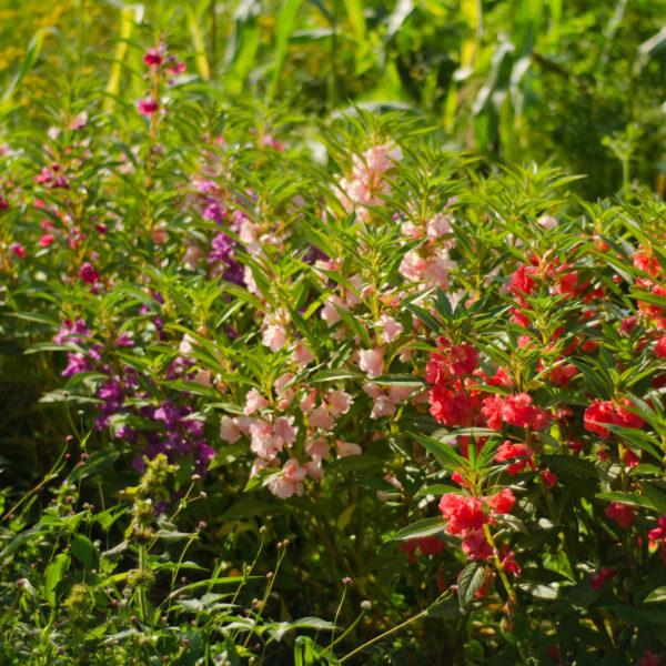 Balsamine(Impatiens balsamina) | Le jardin des vie-la-joie | Artisan semencier du Québec