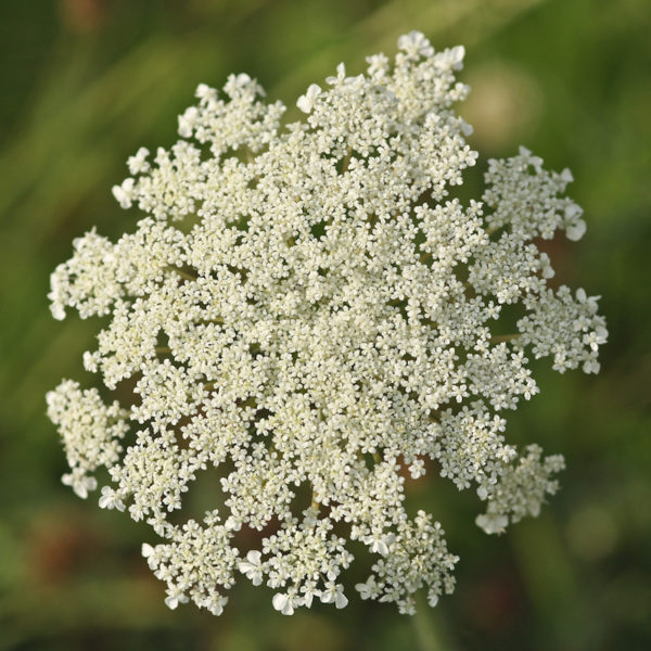 Carotte sauvage (daucus carota) | Le jardin des vie-la-joie | Artisan semencier du Québec