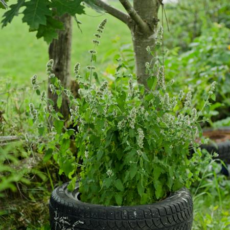 Cataire (Nepeta cataria) | Jardin des vie-la-joie | Artisan semencier