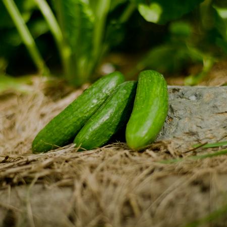Concombre Super Zagross (Cucumis sativus) | Jardin des vie-la-joie | Artisan semencier