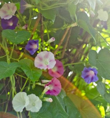 Gloire du matin (Ipomea purpurea) | Le jardin des vie-la-joie | Artisan semencier du Québec