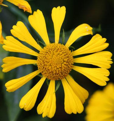 Hélénie automnale (Helenium automnale) | La jardin des vie-la-joie | Artisan semencier du Québec