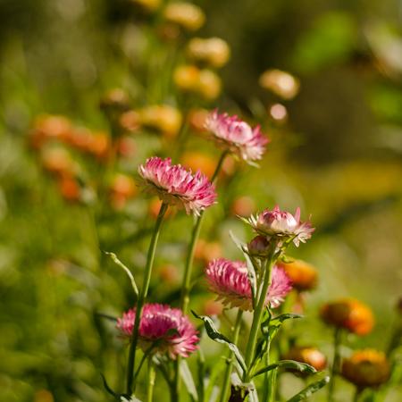 Immortelle à bractée (Helichrysum bracteatum) | Jardin des vie-la-joie | Artisan semencier