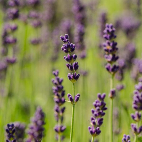 Lavande Munstead (Lavandula angustifolia var. munstead) | Jardin des vie-la-joie | Artisan semencier