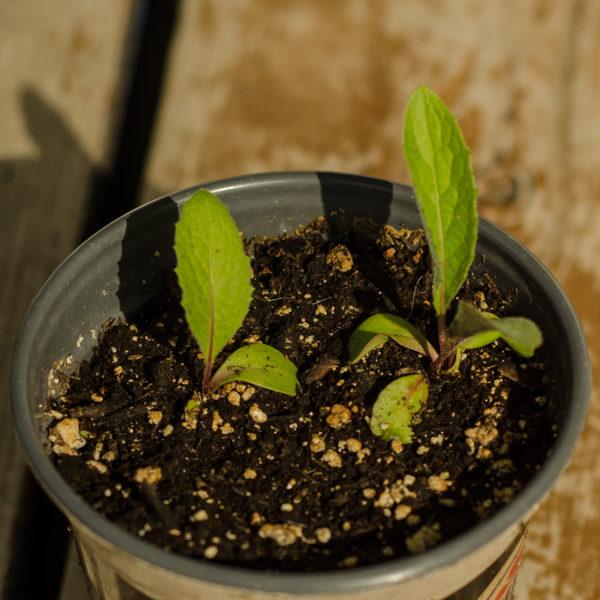 Leuzea (Rhaponticum carthamoides) | Le jardin des vie-la-joie | Artisan semencier du Québec