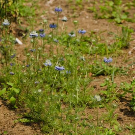 Nigelle 'Love in the mist' (Nigella damascena) | La jardin des vie-la-joie | Artisan semencier du Québec