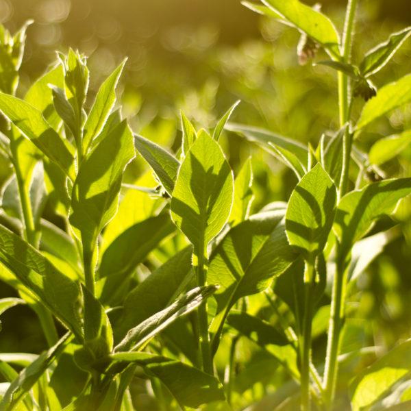 Consoude racine (Symphytum spp) | Jardin des vie-la-joie | Artisan semencier