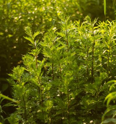 Armoise commune / citronelle (Artemisia vulgaris) | Le jardin des vie-la-joie | Artisan semencier du Québec