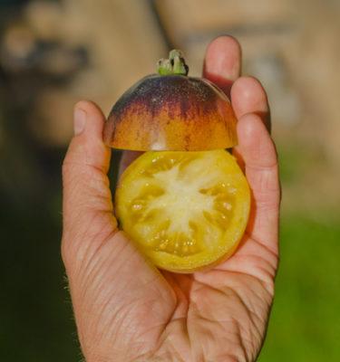 Tomate Woolly Kate (Lycopersicon esculentum) | Jardin des vie-la-joie | Artisan semencier