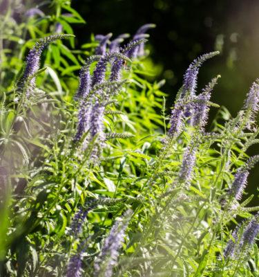 Véronique en épi (Veronica spicata) | Jardin des vie-la-joie | Artisan semencier