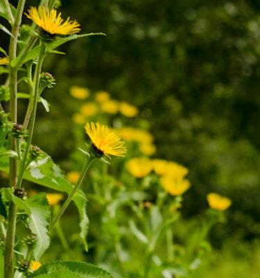 Semences d'aunée (Inula helenium) | Le jardin des vie-la-joie | Artisan semencier du Québec