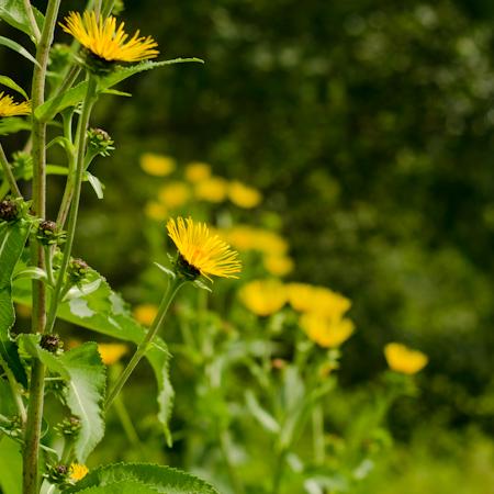 Aunée (Inula helenium) | Le jardin des vie-la-joie | Artisan semencier du Québec