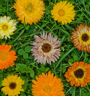 Calendule (Calendula officinalis) | Jardin des vie-la-joie | Artisan semencier
