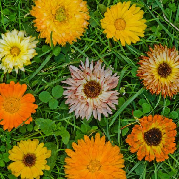 Graines de calendules arc-en-ciel en mélange (Calendula officinalis) | Jardin des vie-la-joie | Artisan semencier