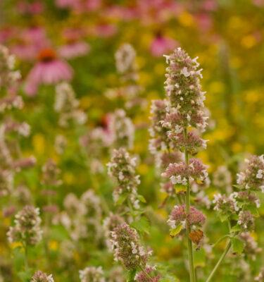 Cataire (Nepeta cataria)   Jardin des vie-la-joie   Artisan semencier