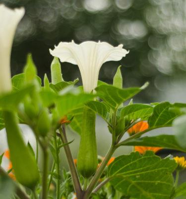 Datura blanche (Datura inoxia) | Le jardin des vie-la-joie | Artisan semencier du Québec