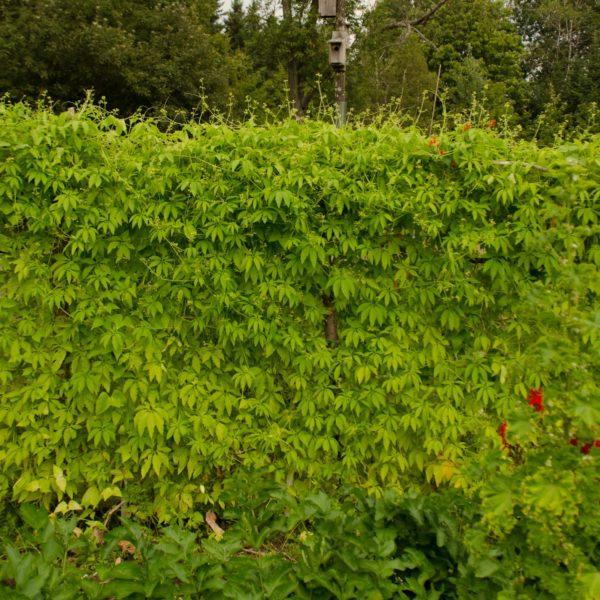 Achocha (Cyclanthera pedata) | Jardin des vie-la-joie | Artisan semencier
