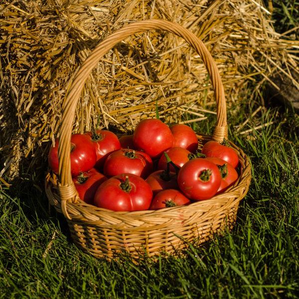 Tomate Canabec Super (Lycopersicon esculentum) | Le jardin des vie-la-joie| Artisan semencier du Québec